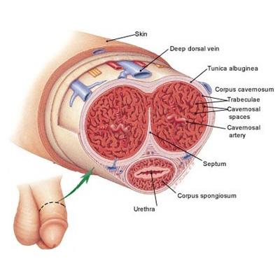 Penis Anatomisi